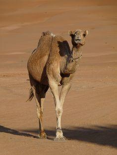 Die Wahiba Sands im Oman. Eine Wüste wie aus dem Bilderbuch mit tiefdunklen Dünen und Kamelen, die über die weiten Flächen ziehen.