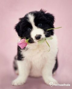 Little border collie fetched something for you!