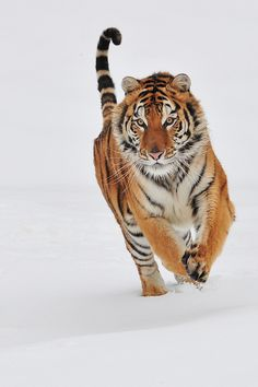 Tiger on the move