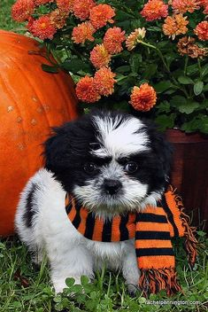 Awwwww love the scarf Shih Tzu