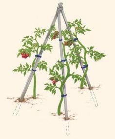 Growing Tomatoes Tips How to Support Tomatoes - Vegetable Gardener, some of the best tomato info I've ever read.and I've been gardening a long time! Veg Garden, Garden Trellis, Edible Garden, Lawn And Garden, Vegetable Gardening, Garden Tomatoes, Gardening Tips, Organic Gardening, Grow Tomatoes