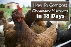 How To Compost Chicken Manure In 18 Days... #chickens #homestead #homesteading