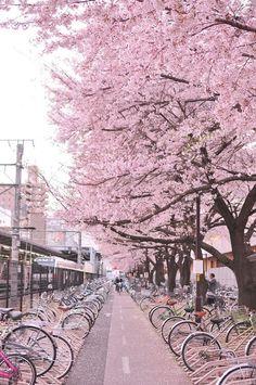 Japan street of sakura: Cherry blossom Beautiful World, Beautiful Places, Beautiful Pictures, Hello Beautiful, Nature Pictures, Amazing Places, Tree Wallpaper, Nature Wallpaper, Wallpaper Backgrounds