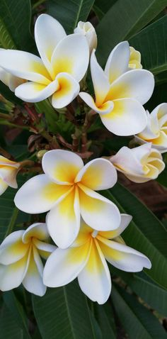 Bi-colour yellow and white Plumeria rubra. Frangipani trees in my South African garden.