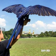 We switched up to carbon fiber coated feathers! check out the shine! :) #hyacinthmacaw #parrots #macaws #loro #guacamaya #papagaio #papegøje #papegaai #papagei #pappagalli #papuga #Попугаи #papağan #鸚鵡  #affinityflight #parrot #macaw #guacamayo #arara #perroquet #papagaj #pappagallo #papegøye #Попугай #papegoja #ببغاء #オウム#앵무새 #طوطی #flyingparrots #freeflyingparrots