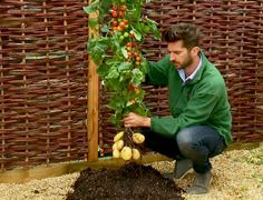 Thanks To Science, Ketchup And Fries Have Never Been Closer. Brand-new hybrid TomTato plant hits the States