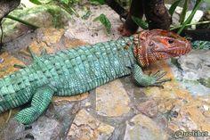 79922d1366214787-looking-adult-caiman-lizards-dracaena-caimanlizard.jpg (2032×1355)