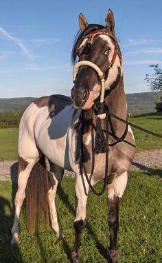 Paint Horse stallion Chips and Dun. Grullo Overo