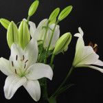 Eyeliner Asian Lilies, Eyeliner, Lily, Plants, Orchids, Flora, Eye Liner, Plant, Lilies