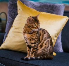 Bengal, Club, Throw Pillows, Pets, Animals, Flare, Toss Pillows, Animales, Cushions