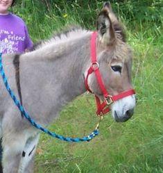 Packing w/ mini donkeys instead of goats? Hmm....