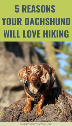 There are many reasons a Dachshund will like hiking. These include increasing happiness, mental stimulation and  helping them to not gain extra weight.