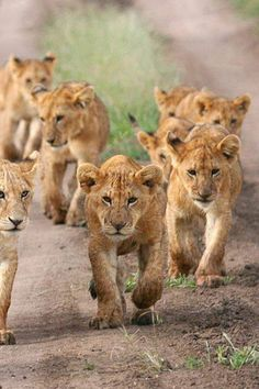 Lion cubs on the prowl.