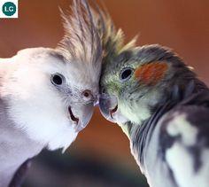 https://www.facebook.com/WonderBirdSpecies/ Cockatiel/Quarrion/Weiro (Nymphicus hollandicus); Native to Australia; IUCN Red List of Threatened Species 3.1 : Least Concern (LC)(Loài ít quan tâm) || Vẹt mào Cockatiel; Loài bản địa Úc; HỌ VẸT MÀO - CACATUIDAE (Cockatoos).