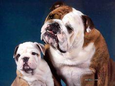 bulldogs_csg002