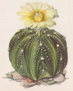 Cactus: Astrophytum asterias  Book: A concise guide in colour; cacti and succulents  Drawing source: Firina Kaplická