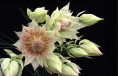 blushing bride protea - For bridal bouquet Different Flowers, Types Of Flowers, Exotic Flowers, Beautiful Flowers, South African Flowers, Australian Wildflowers, Wildflower Tattoo, Protea Flower, Flower Photos
