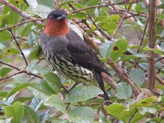 Chestnut-crested Cotinga (Ampelion rufaxilla) Peru. It is found locally in the Andes from Colombia to Bolivia, and occurs at lower elevations that red-crested Cotinga.