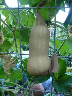 Very clever! This woman used old nylons to support vertical growing squash and melons!
