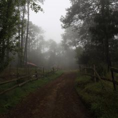 Fog and pine forest