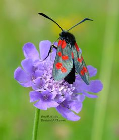 This is a photo of a burnet moth, which was taken right next to the sea! Taken with a Fujifilm Finepix EXR Don't use this photo without m. Spots and Purple Purple Garden, Moth, Butterflies, Animals, Ant, Spinning, Dragon Flies, Snails, Animales