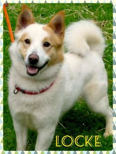 Locke is an adoptable Spitz, Shetland Sheepdog Sheltie Dog in Souderton, PA If interested in adopting this pet, please e-mail SalfidRescue@aol.com and request an adoption  ... ...Read more about me on @petfinder.com