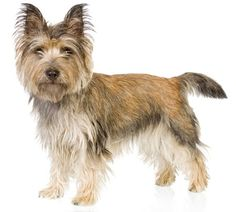 I want another Cairn Terrier!