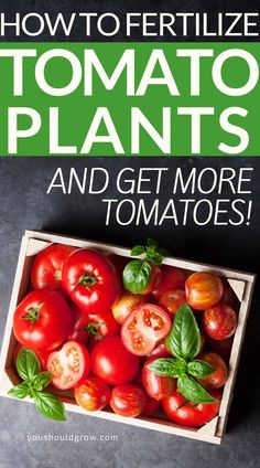Knowing how to fertilize tomatoes will make all the difference in how many tomatoes you get this summer. Get the tips and tricks you need to know here. Fall Vegetables, Planting Vegetables, Healthy Vegetables, Organic Vegetables, Growing Vegetables, Vegetable Garden For Beginners, Backyard Vegetable Gardens, Gardening For Beginners, Gardening Tips
