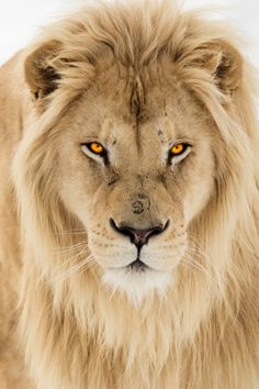 vividessentials:White Lion | vividessentials