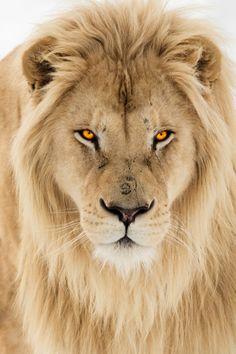 vividessentials:White Lion | vividessentials