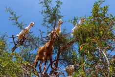 Yes, goats like to eat the fruit of the argan tree but unfortunately they can destroy it too.