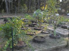 Earthineer blog: Tire and Raised Bed Gardens   These gardeners used tire raised beds to grow fruit trees over inhospitable soil.