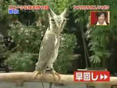 EEEEEKKKK!!!! OMG! If this doesn't prove God has a twisted sense of humor NOTHING WILL!!! Yes, it's in Japanese but u dont need to understand it to get the point! I swear this owl pulls a Dracula!
