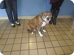 SUPER URGENT!!! Burbank, CA - Pit Bull Terrier/Boxer Mix. Meet ROCCO, a dog for adoption. http://www.adoptapet.com/pet/17837639-burbank-california-pit-bull-terrier-mix