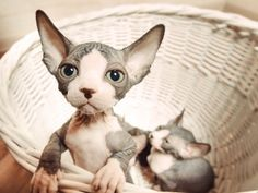 chaton sphynx bébé