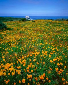 Poppies, Pacific Valley, Big Sur, Monterey County, California, United States