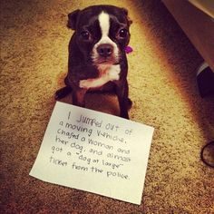 Naughty Nelson Nelly was a a BAD little Boston Terrier today Cute Funny Animals, Funny Animal Pictures, Funny Dogs, Funny Cute, Hilarious, Chihuahua Dogs, Pet Dogs, Dog Cat, Pets