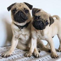 @pugs #pug #puglove #pugs #puglife #instapug #pugsnotdrugs #pugglesofinstagram #puglia #pugsofinstagram #cutepug #cutepugs #puppy #puppies #puglover #puglovers #dogs #dogsofinstagram #doglove #doglover #puppylove #pugloversofinsta #pugstagram #pugstagram_lovers #igpugs #pugloversclub #ilovemypug #pugoftheday #pugworld #puggle #pugmania