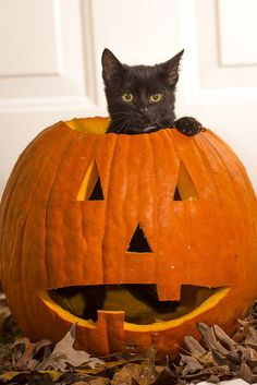 By taking a few precautions you can ensure a happy Halloween for everyone in the family pets included Halloween Cat, Vintage Halloween, Happy Halloween, Baby Animals, Cute Animals, Fall Cats, Cat Pumpkin, Colorful Animals, Pet Safe