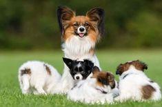 Het Vlinderhondje is een hondenras die afstamt van de Spaniels die vaak worden afgebeeld in schilderijen van de oude meesters, helemaal terug in de 16e eeuw. Most Beautiful Pictures, Cool Pictures, Dog Breeds, Dog Cat, Spaniels, Corgi, Told You So, Toys, Animals