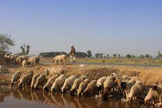 Sheep drinking water. A village life of Pakistan.