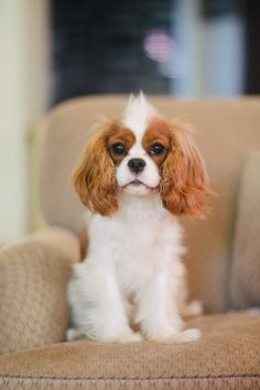 Cavalier King Charles Spaniel – Graceful and Affectionate King Charles Puppy, Cavalier King Charles Dog, King Charles Spaniel, Puppies And Kitties, Cute Puppies, Cute Dogs, Doggies, Cute Baby Animals, Animals And Pets