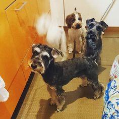シェリが消えそうw #ごはん待ち  #ミニチュアシュナウザー#シュナウザー#愛犬#miniatureschnauzer#schnauzer#schnauzerlovers#dogs#白シュナ#黒シュナ#ソルペ#レバホワ
