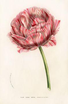 Tulipe Double Hative by Louis van Houtte, Flore des Serres,1858