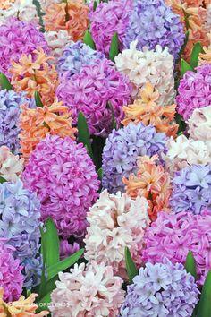 A melange of four hyacinths in pastel shades • photo: Fluwel