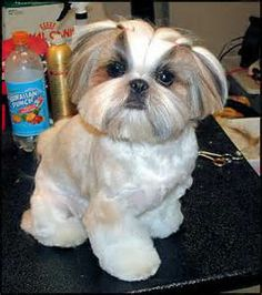 shih tzu haircuts styles shih tzu puppy after grooming teddy trim puppy cut 2758