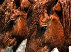 suffolk punch dfraft   Suffolk Punch Draft Horses   Flickr - Photo Sharing!