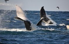 Extraordinary South Africa Whale Watching, Great Event : South Africa Whale WatchingTail View