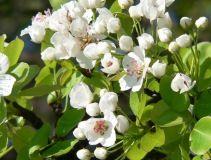 Wenn die Birnbäume blühen ...