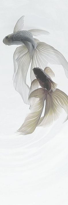 White - Betta Fish - from MontanaRosePainter Beautiful Creatures, Animals Beautiful, Animals Amazing, Animals And Pets, Cute Animals, Carpe Koi, Beta Fish, Beautiful Fish, Pretty Fish